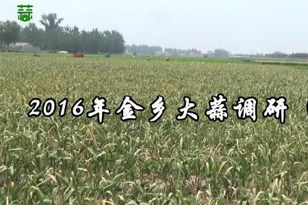 2016年金乡大蒜调研(下集) ()