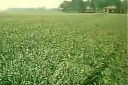 大蒜优质丰产技术 ()