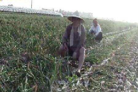 """蒜商闫锦河、农户采访综合篇—""""老石说市""""第一期 ()"""