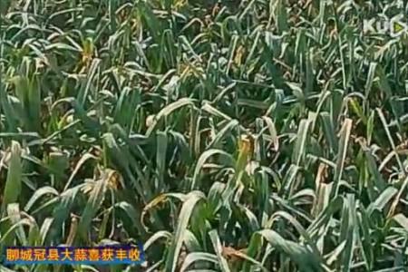 聊城冠县大蒜喜获丰收 【拍客:冠县苗子】 ()