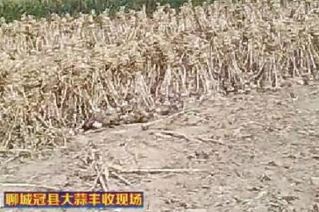聊城冠县大蒜 丰收在即即将上市 【拍客:冠县苗子】 ()