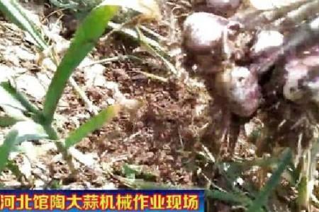 馆陶大蒜机械化收获  促蒜农增收 【拍客:馆陶强哥】 ()