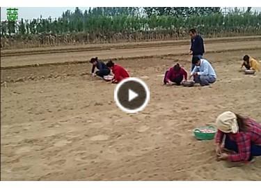 2015年河南早熟大蒜开种 【拍客:中牟李奇】 ()