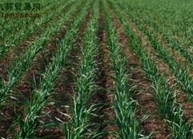 欧洲:大蒜产量增加 报价预估下跌 ()