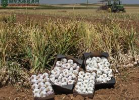 西班牙大蒜出口量持续增长 ()