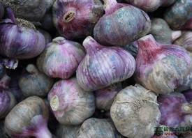 紫皮蒜带动村民致富