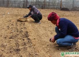 啦井镇:农民忙种桃花蒜