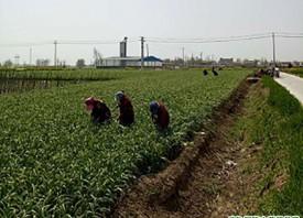 丰县:蒜薹全面上市 价格同比降低 ()