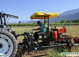意大利:苏尔摩纳的红蒜开始收获