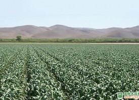 加州早蒜品种迎来良好开端 ()