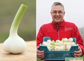 荷兰:鲜蒜单产量远低于去年 ()