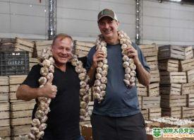 大蒜产量大 全球市场疲软 ()