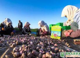 甘肃民乐:紫皮大蒜正丰收