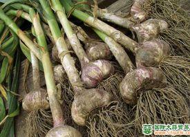 阿根廷:对大蒜抱有良好收货期望 ()