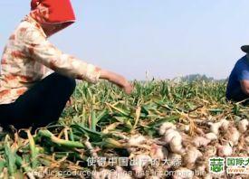中国优质大蒜走向世界
