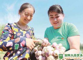 新疆和硕县:大蒜喜丰收 ()