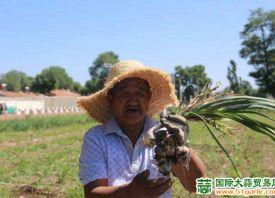 河南村:大蒜喜获丰收