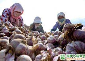 甘肃民乐:3万亩紫皮大蒜喜获丰收 ()