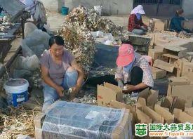 内蒙古突泉:紫皮蒜销往北京 ()