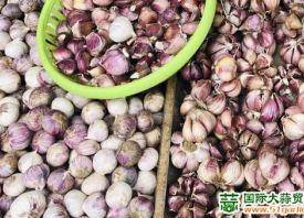 昆明:紫皮香蒜优质优价 ()
