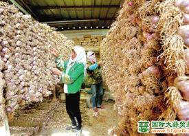 甘肃民乐:紫皮大蒜获丰收 ()