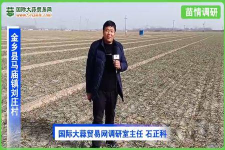 2021年1月份寒潮后金乡大蒜苗情调查