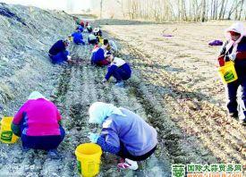 甘肃:大蒜进入种植期 ()