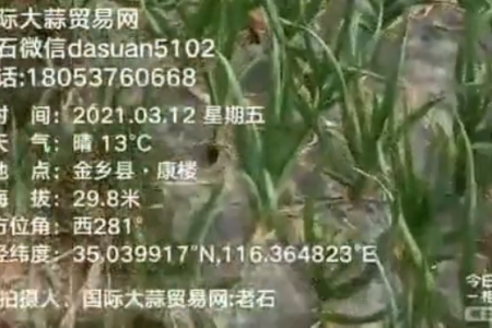 3月12日金乡大蒜苗情观察日记 ()