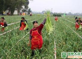 四川温江:蒜薹喜获丰收 ()