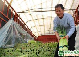杞县:蒜薹喜获丰收 ()