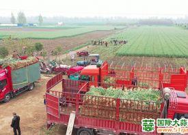 兴平:万亩蒜苗迎来收获季 ()