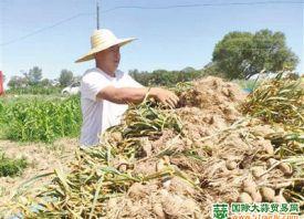 和林县土城子大蒜喜获丰收 ()