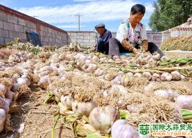 甘肃民乐县:蒜农喜迎大丰收 ()