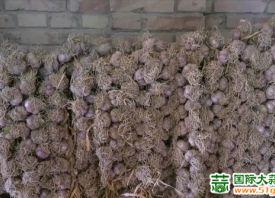 靖远县:永新乡紫皮大蒜喜丰收 ()
