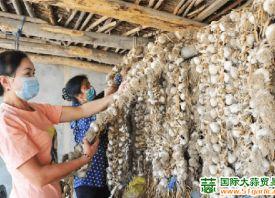新疆拜城:紫皮大蒜喜丰收