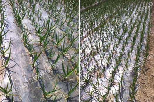 """异常气候对不同地质苗青的影响--2016年3月16日""""实话石说"""""""